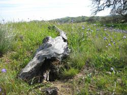 Purple wildflowers brighten a fallen log at Pacheco State Park in California.
