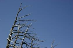 A dead windblown tree near Mammoth Lakes, California.