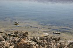 A seagull swims in the shallows near tufa at Mono Lake.