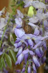 A snail checks out the purple wisteria flowers.