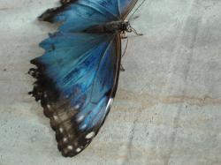 I believe this is a blue morpho butterfly, resting on gray concrete. His poor wings look a little ragged.