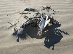 The carcass of a large bird (species unknown) on the beach at Morro Bay, California.