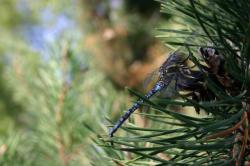 Blue dragonfly on a pine tree.