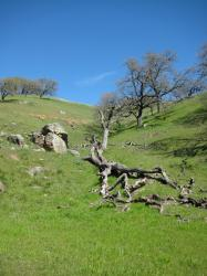 A fallen tree sleeps among the hills in Pacheco State Park, California.