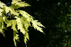 Bright yellow green leaves against a dark black background.