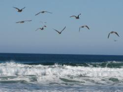 Seabirds flying over the waves at Morro Bay, California.