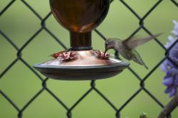 Hummingbird hovering and drinking from a hanging feeder.