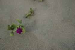 Little purple flowers growing in beach sand.  It resembles sand verbena, but I'm not sure.  (If you know the species, please let me know and I'll add the info!)