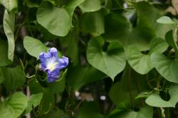 "A shriveling ""Heavenly Blue"" morning glory in front of a green leafy background."