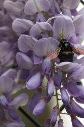 Closeup of a black carpenter bee with iridescent wings on purple wisteria flowers.