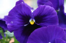 Purple and yellow pansies.