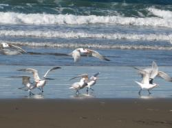Seabirds taking off at Morro Bay, California. (If anyone knows the species, please let me know and I'll add the info!)