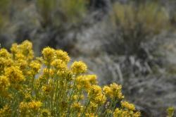 Yellow wildflowers at Mono Lake.