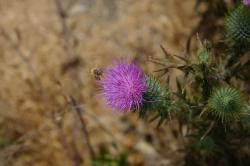 A bee coming in for a landing on a purple thistle.