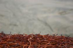 A tight cluster of thin red-orange seaweed at the beach.