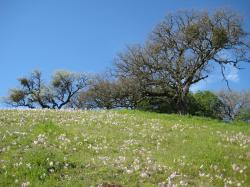 Pink and white wildflowers grace a tree-lined hill in Pacheco State Park, California.