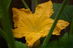 Giant yellow flower on a zucchini plant.