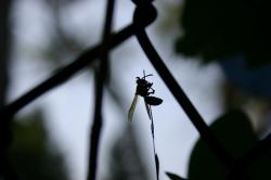 A silhouette of a wasp grasping a thin weed.  (Taken through a chain-link fence.)