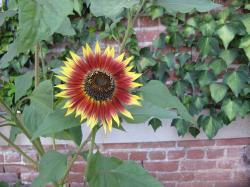 A bright red and yellow sunflower in front of a green ivy-covered brick wall.