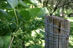 Green grapes and leaves near a wired wooden fence post.