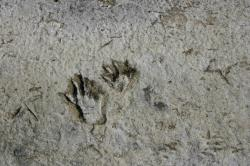 Paw prints (probably raccoon) and bird tracks in dried mud.