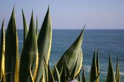 Green and yellow spiny succulent plants overlook the ocean in Laguna.
