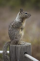 Ground squirrel, standing on a post with a blurred background (portrait orientation).