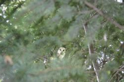 A barn owl viewed through a veil of green pine tree branches.
