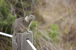 Ground squirrel, sitting on a post.