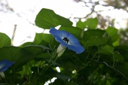 A big black carpenter bee diving into the morning glory.