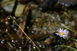 A lavender daisy-like wildflower by a stream.