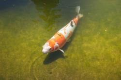 A white, orange and black koi fish in a shallow green pond.