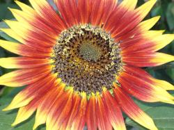 A bright red and yellow sunflower.