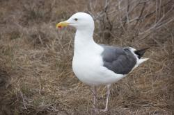 A male seagull, standing.
