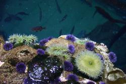 Purple sea urchins, fish, and other undersea life.