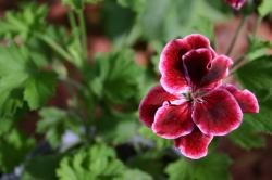 A deep red and pink geranium flower over a green leafy background.