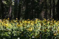 A field of yellow coneflowers (I think) in a forest.