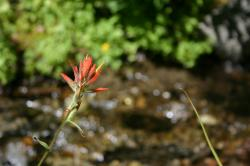 A red wildflower by a stream near Mammoth Lakes. It resembles Indian Paintbrush, but I'm not sure what it is.