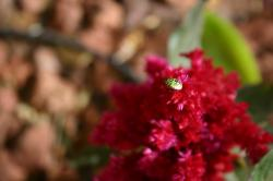 A green, red, and black spotted bug on a Celosia flower.  (If you know the species, please let me know and I'll add the info!  Maybe some kind of shield beetle?)