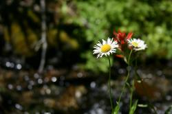 White daisy-like flowers and a red wildflower near a stream.