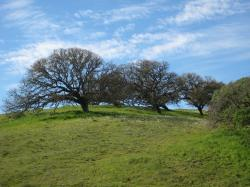 Trees on a hill in Pacheco State Park, California.